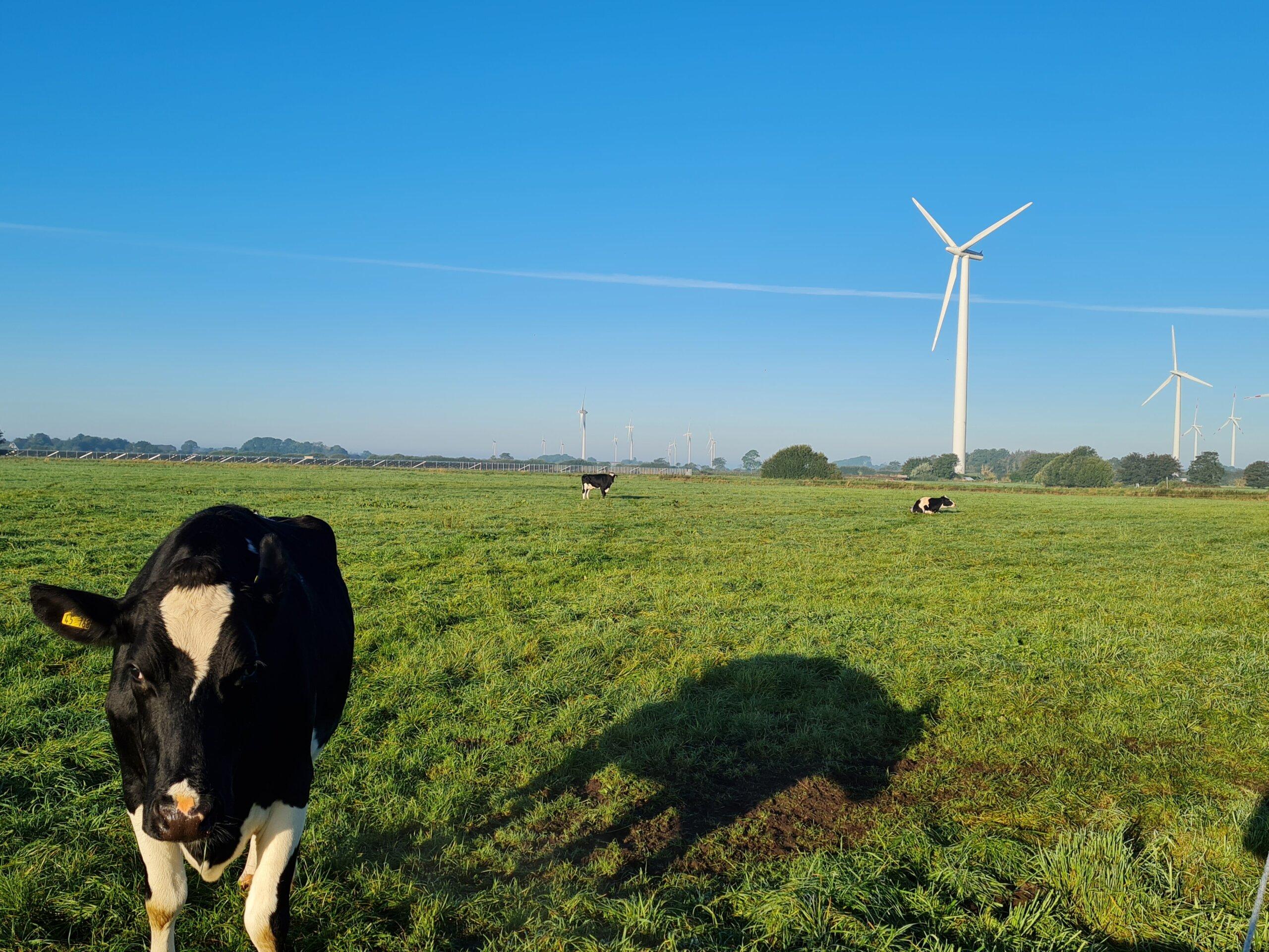 Kuh mit Windenergieanlage in Ellhoeft, Foto: Anke Ortmann