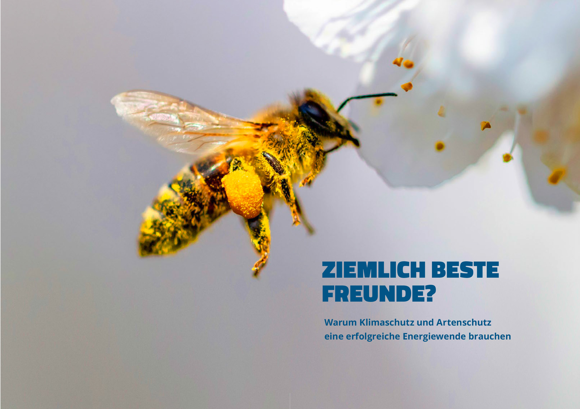 Biene im Anflug auf weiße Blüte