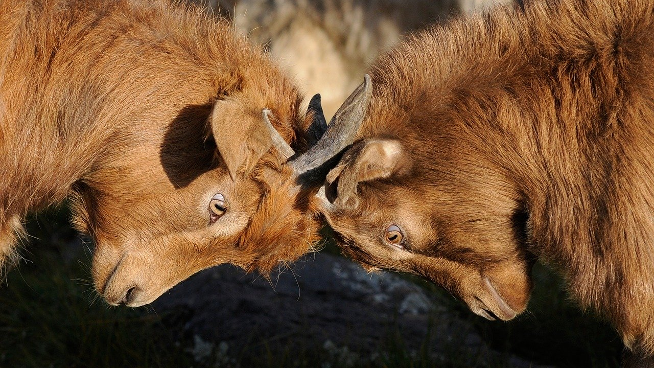 Zwei Ziegenböcke kämpfen