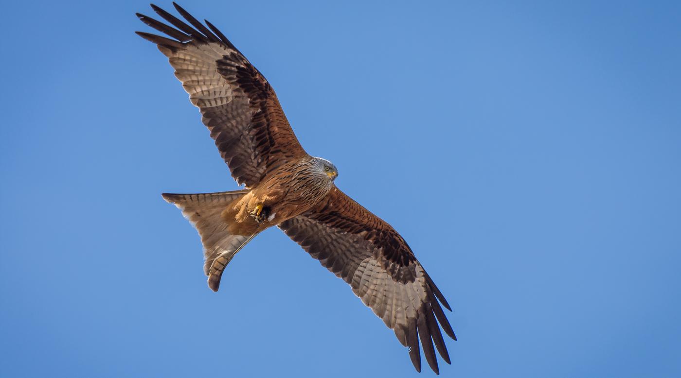 Rotmilan im Flug_Sven-Lachmann_Pixabay
