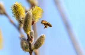 Biene im Anflug auf ein Weidenkätzchen